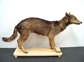 ニホンオオカミの画像 p1_7