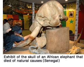 Exhibit of the akull of an African elephant that died of natural causes (Senegal)